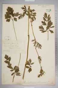 Thalictrum flavum herbarium specimen from Shalford, VC17 Surrey in 1881 by Mr William Hadden Beeby.