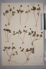 Adoxa moschatellina herbarium specimen from Chipstead, VC17 Surrey in 1901 by William Henry Griffin.