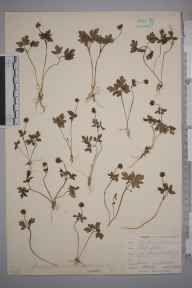 Adoxa moschatellina herbarium specimen from Keston, VC16 West Kent in 1901 by William Henry Griffin.