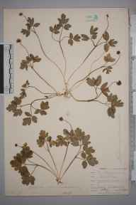 Adoxa moschatellina herbarium specimen from Chaldon, VC17 Surrey in 1901 by William Henry Griffin.
