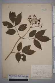 Sambucus nigra herbarium specimen from Weston in Gordano, VC6 North Somerset in 1918 by Ida Mary Roper.