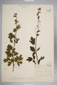 Thalictrum flavum herbarium specimen from Askham Bog, VC64 Mid-west Yorkshire in 1870 by Dr Frederick Arnold Lees.