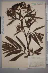 Sambucus ebulus herbarium specimen from Barkway, VC20 Hertfordshire in 1933 by Mr Job Edward Lousley.