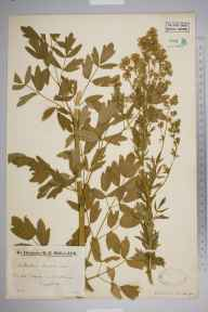 Thalictrum flavum herbarium specimen from Wareham, VC9 Dorset in 1933 by Mr Edward Charles Wallace.