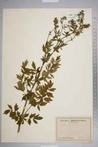 Thalictrum flavum herbarium specimen from Crayford, VC16 West Kent in 1944 by Francis Rose.