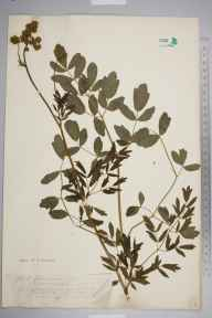 Thalictrum flavum herbarium specimen from Bangor, VC49 Caernarvonshire by Mr John Edwards Griffith.