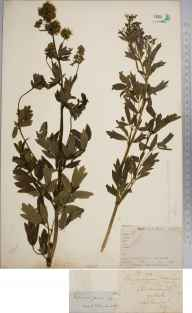 Thalictrum flavum herbarium specimen from Richmond, VC17 Surrey in 1857 by Wilkinson.