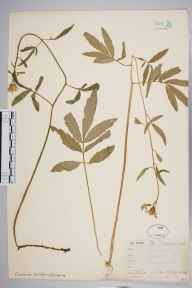 Cardamine bulbifera herbarium specimen from Tunbridge Wells, VC16 West Kent by Mr Frederick Townsend.