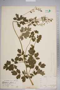 Thalictrum flavum herbarium specimen from Watford, VC20 Hertfordshire in 1880 by Mr James Groves.
