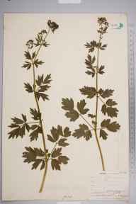 Thalictrum flavum herbarium specimen from Clifton Ings, VC62 North-east Yorkshire in 1903 by Mr Allan Octavian Hume.