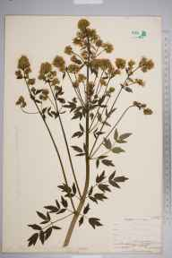 Thalictrum flavum herbarium specimen from Maidenhead, VC22 Berkshire in 1903 by William Henry Griffin.