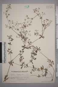 Galium album herbarium specimen from Laleham, VC17,VC21 in 1931 by Mr Edward Charles Wallace.