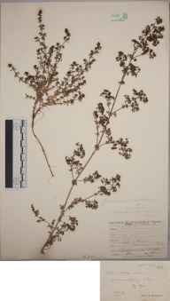 Galium x pomeranicum herbarium specimen from Bigbury, VC3 South Devon in 1894 by Rev. Edward Shearburn Marshall.