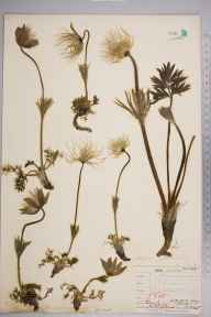 Pulsatilla vulgaris herbarium specimen from Gog Magog, VC29 Cambridgeshire in 1845 by Mr Frederick Townsend.