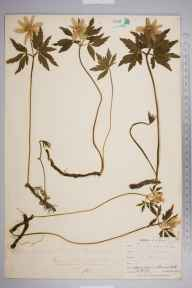 Anemone nemorosa herbarium specimen from Ponsanooth, VC1 West Cornwall in 1900 by Mr Allan Octavian Hume.