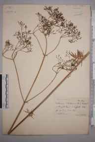 Valeriana officinalis herbarium specimen from Burgate, VC25 East Suffolk in 1890 by Rev. Edward Shearburn Marshall.