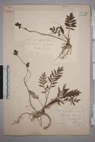 Valeriana officinalis herbarium specimen from Kenley, VC17 Surrey by Mr William Hadden Beeby.