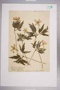 Anemone nemorosa herbarium specimen from Pinner, VC21 Middlesex in 1904 by Charles Baylis Green.