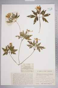 Anemone nemorosa var. caerulea herbarium specimen from Lansdown Hill, VC34 West Gloucestershire in 1923 by Mr Herbert William Pugsley.