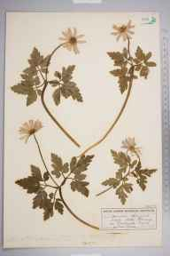 Anemone apennina herbarium specimen from Stoke Fleming, VC3 South Devon in 1915 by Miss S Imeson.