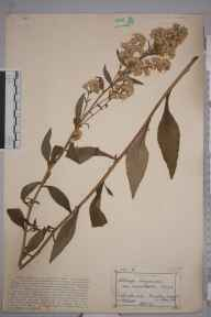 Solidago virgaurea herbarium specimen from Buddon Wood, Quorn, VC55 Leicestershire in 1891 by Mr Frederick Thompson Mott.