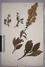 Solidago virgaurea herbarium specimen from Wynch Bridge, VC65, VC66 in 1934 by Mr Isaac A Helsby.