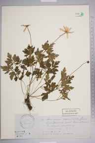 Anemone apennina herbarium specimen from Wimbledon, VC17 Surrey in 1830 by Edward Turner Bennett.