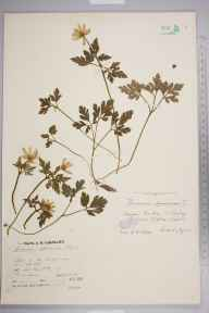 Anemone apennina herbarium specimen from Clifton, Bristol, VC6 North Somerset in 1920 by Mr James Walter White.
