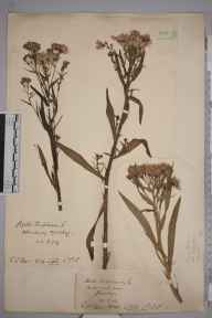 Aster tripolium herbarium specimen from Kew Bridge, VC17 Surrey in 1903 by Charles Baylis Green.