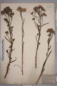 Aster tripolium herbarium specimen from Whitby, VC62 North-east Yorkshire by Mr Henry Ibbotson.