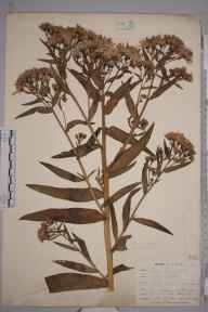Aster tripolium herbarium specimen from Lizard, VC1 West Cornwall in 1899 by Mr Allan Octavian Hume.
