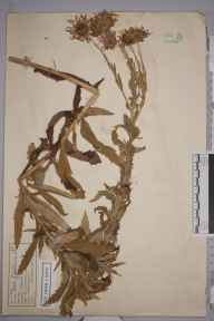 Aster  herbarium specimen from Great Bookham Common, VC17 Surrey in 1953 by Edward Benedict Bangerter.