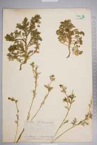 Adonis autumnalis herbarium specimen from Steephill, VC10 Isle of Wight in 1844 by Mr Frederick Townsend.