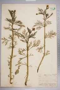 Adonis autumnalis herbarium specimen from Leith Docks, VC83 Midlothian in 1906 by James Fraser.
