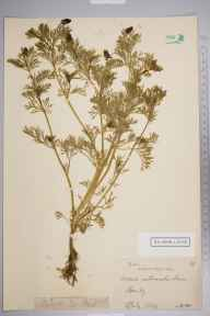 Adonis autumnalis herbarium specimen from Swanley, VC16 West Kent in 1884 by Webb.