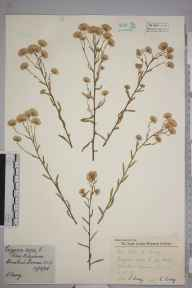 Erigeron acris herbarium specimen from Banstead Downs, VC17 Surrey in 1958 by Charles Avery.