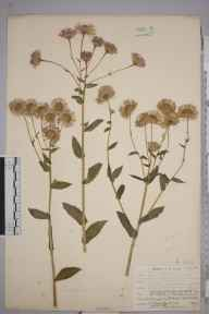 Erigeron philadelphicus herbarium specimen from River Brock, VC60 West Lancashire in 1899 by H Beesley.