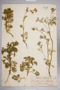 Adonis autumnalis herbarium specimen from Steephill, VC10 Isle of Wight in 1844 by Albert John Hambrough.