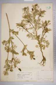 Adonis autumnalis herbarium specimen from Swanley, VC16 West Kent in 1883 by Mr James Groves.