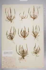 Myosurus minimus herbarium specimen from Gerrards Cross, VC24 Buckinghamshire in 1912 by J Ross.