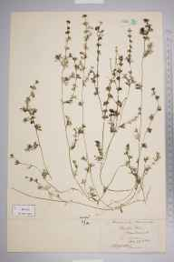 Ranunculus circinatus herbarium specimen from Slapton Ley, VC3 South Devon in 1878 by Dr John Ralfs.