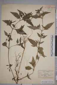 Bidens tripartita herbarium specimen from Great Bookham Common, VC17 Surrey in 1953 by Peter Charles Hall.