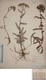 Achillea millefolium herbarium specimen from Addington, VC17 Surrey in 1903 by William Henry Griffin.