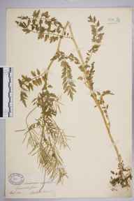 Cardamine impatiens herbarium specimen from Symonds Yat, VC34,VC36 in 1890 by Mr Walter Waters Reeves.