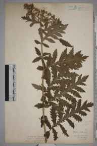 Achillea distans subsp. tanacetifolia herbarium specimen from Ely, VC41 Glamorganshire in 1936 by Royston Leslie Smith.