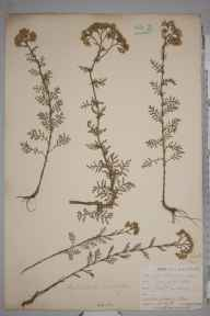 Achillea distans subsp. tanacetifolia herbarium specimen from Par, VC2 East Cornwall in 1902 by Mr Frederick Hamilton Davey.