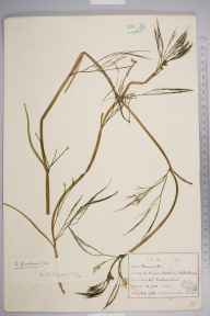 Ranunculus fluitans herbarium specimen from Beetham, VC69 Westmorland in 1916 by William Harold Pearsall.