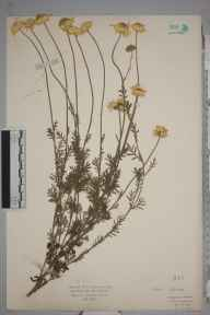 Anthemis tinctoria herbarium specimen from Ely, VC41 Glamorganshire in 1938 by Royston Leslie Smith.