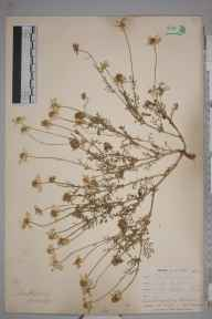 Anthemis cotula herbarium specimen from Gwinear, VC1 West Cornwall in 1900 by Mr Frederick Hamilton Davey.