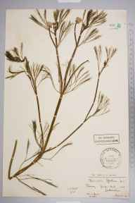 Ranunculus fluitans herbarium specimen from Leatherhead, VC17 Surrey in 1901 by Mr Charles Edgar Salmon.